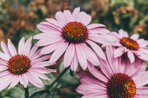 Packed with antioxidant compounds, echinacea can help defend your cells from stress that contributes to chronic diseases such as heart disease and diabetes.