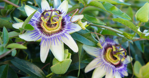Close up of a pair of purple white passionflower
