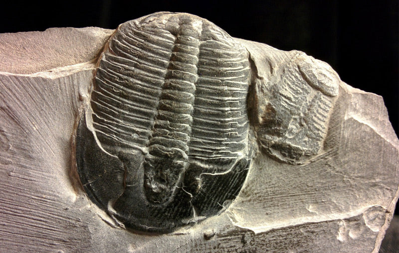 Confessions of a Genuine Trilobite: What is it Telling Us?
