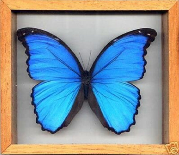 Blue Morpho Butterfly in Wood Frame - Michael's Gems and Glass