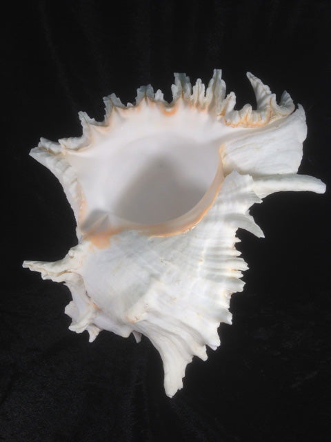 Large Murex Shell - Michael's Gems and Glass