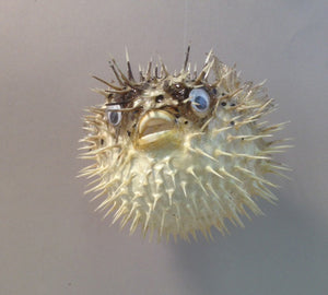Pufferfish (Porcupine Fish) - Michael's Gems and Glass