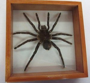 Tarantula - Michael's Gems and Glass