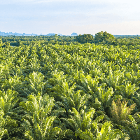 Why is Palm Oil Bad for Enviroment? - Palm fruit grove image