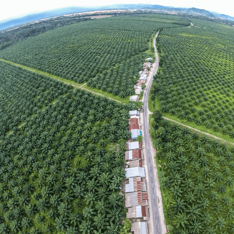 Why is Palm Oil Bad for Environment - Palm Tree farms image of monocrop