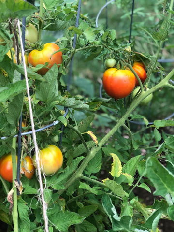 Grow your own organic produce - tomato garden 4 the greater good