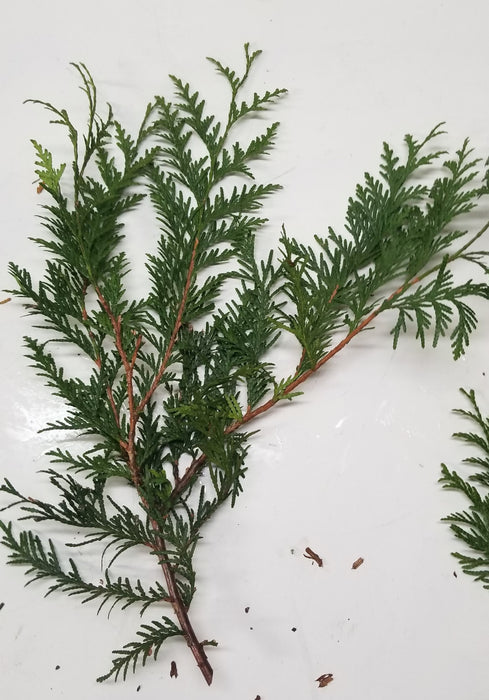 "8-16"" Cedar Stems - 10 Per Bundle"