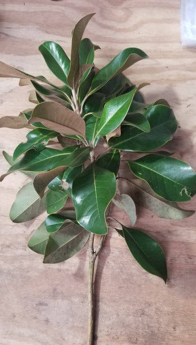 "Fresh Magnolia Branches 18-24"" long"