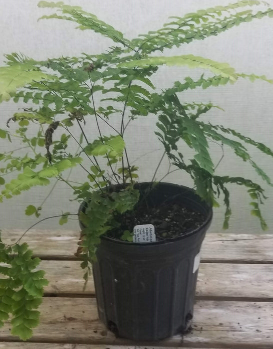 Adiantum pedatum - Maiden Hair Fern - Gallon Sale