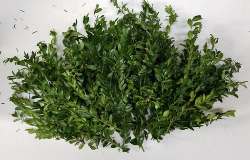 "3-8"" Boxwood Tips - 50 tips per pack"