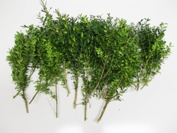 "8-16"" Boxwood Stems - Bundle of 10"
