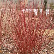 Cornus Farrow Arctic Fire 3 Gallon