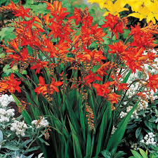 Crocosmia Red King 2 Gallon