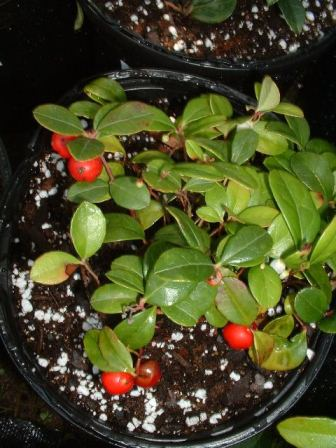 Gaultheria procumbens - Wintergreen, Teaberry