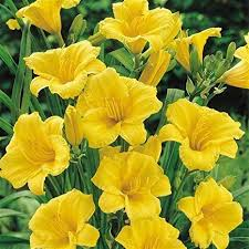 Hemerocallis Stella De Oro 1 Gallon