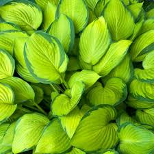 Hosta Stained Glass 3 Gallon