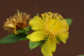 Hypericum prolificum - St. Johnswort