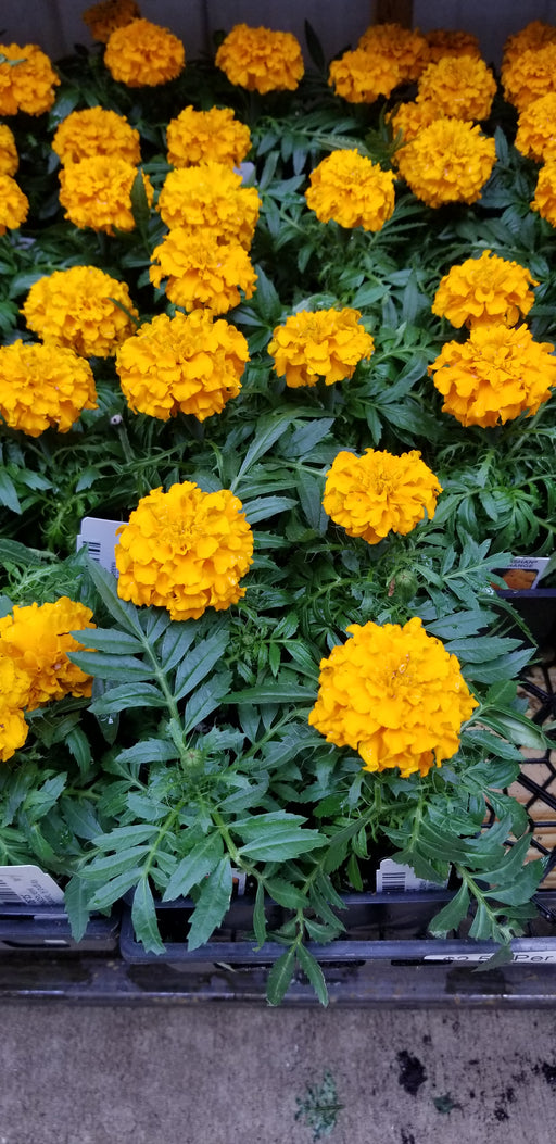 Marigold (A) Taishan Orange 4pk