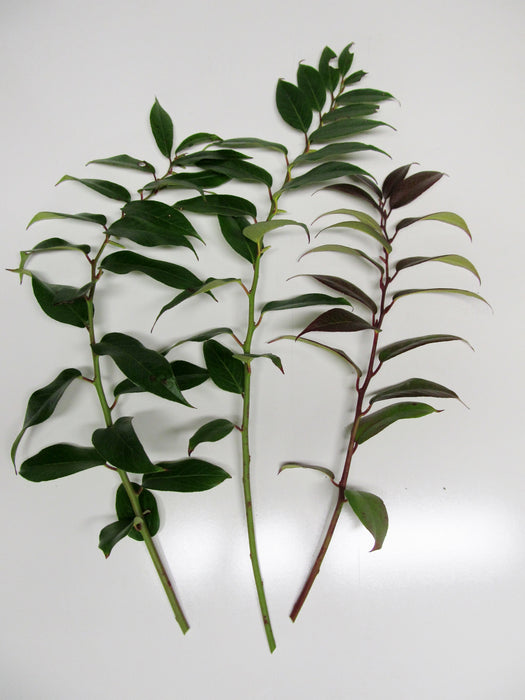"12-18"" Leucothoe Sprays - Per Spray"