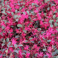 Loropetalum Garnet Fire 3 Gallon