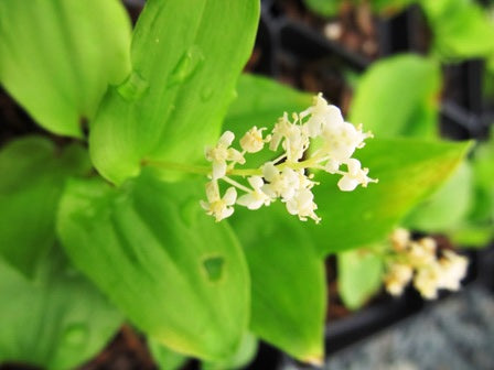 Maianthemum canadense - False Lily-Of-The- Valley