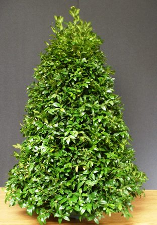 Miniature Boxwood Tree