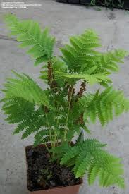 Osmunda claytoniana - Interrupted Fern