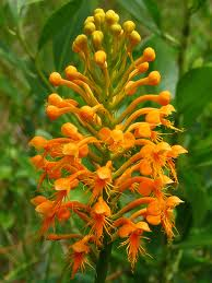 Platanthera ciliaris (Habenaria ciliaris) - Yellow Fringed Orchid