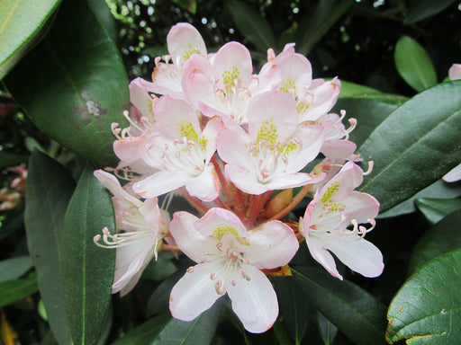 Rhododendron maximum - Rosebay Rhododendron