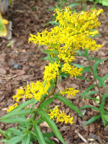 Solidago odora - Sweet Goldenrod