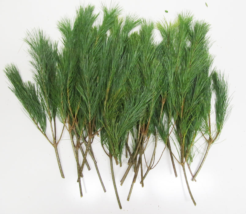 "8-16"" White Pine Tips - Bundle of 10"