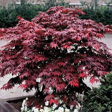 Acer Bloodgood 3 Gallon