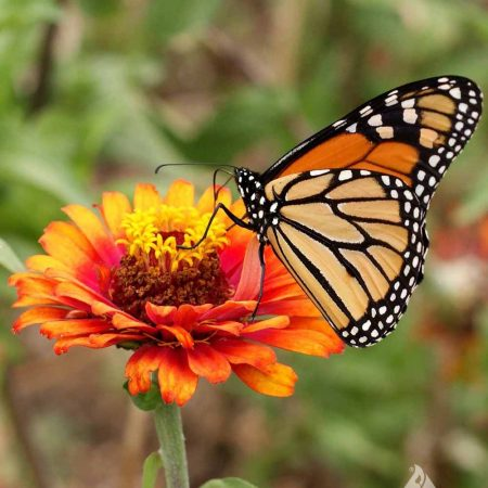 Monarch Butterfly Mixture