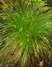 Carex stricta - Tussock Sedge