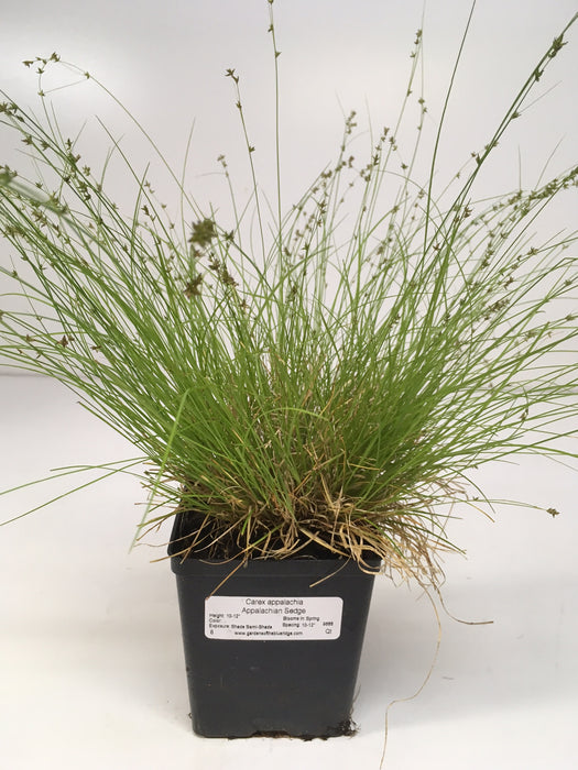 Carex appalachia - Appalachian Sedge