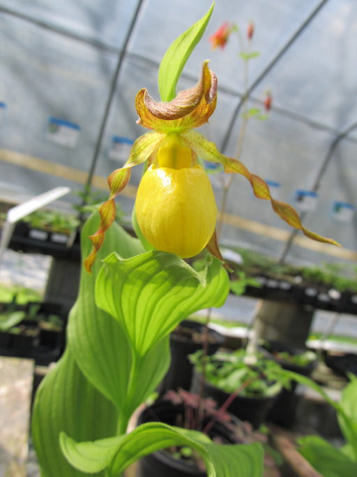 Cypripedium parviflorum var pubescens (calceolus) - Yellow Lady's Slipper