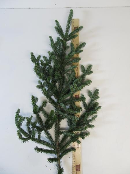 "24-36"" Fraser Fir Sprays - Per Spray"