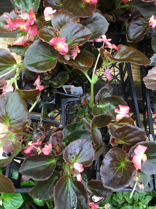 Begonia Bronze Leaf Red Flower Single