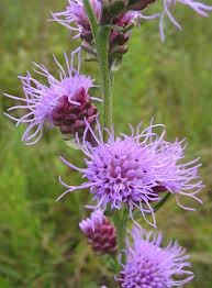 Liatris aspera - Rough Blazing Star