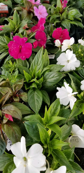 NG Impatiens Mystic Mix