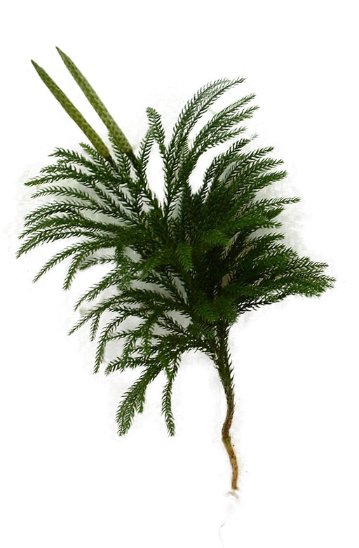 Princess Pine Stems - Bundle of 10