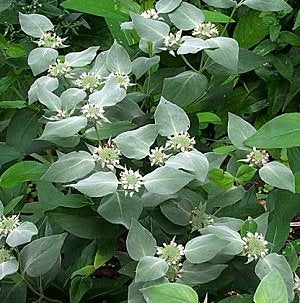 Pycnanthemum muticum - Mountain Mint