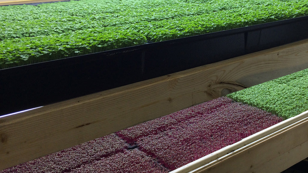 prestine microgreens growing inside our warehouse