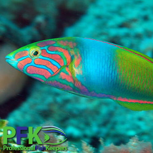 Wrasses, Fish Only