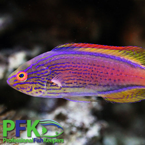 Wrasses, Reef Safe