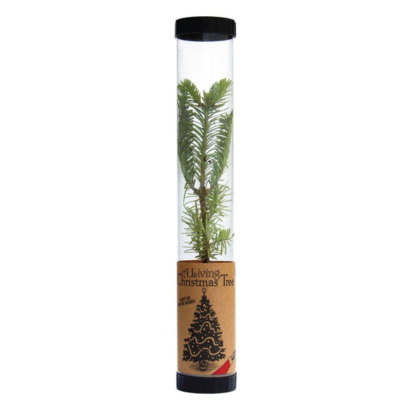 Living Christmas Tree - Balsam Fir