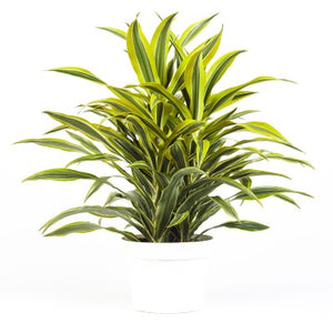 "6"" Dracaena Lemon Lime"