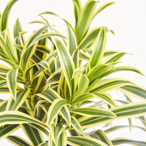 "4"" Dracaena Song of India"