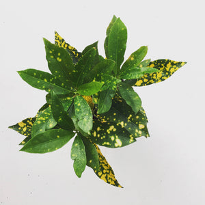 "4"" Croton Gold Dust"