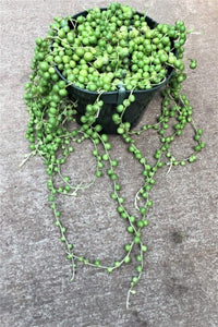 "6"" Senecio String of Pearls"